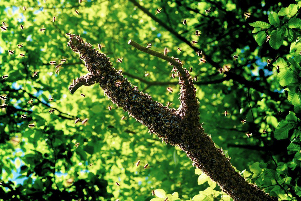 Bienen schwärmen 2021